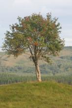 Mystical Rowan Tree - A true travellers friend for man and beast alike