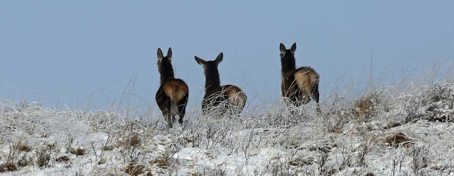 hinds in the hills...